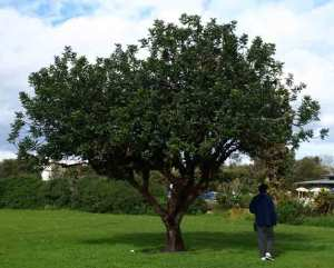 Carob tree - one of four going to be removed