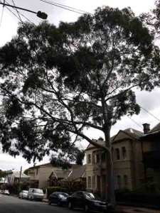 Lemon Scented Gum outside 138 Cambridge St Stanmore