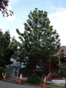 Silky Oak ouside Merton St Petersham