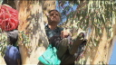 Richard in the Gum tree he is trying to save - photo courtesy of Channel 7