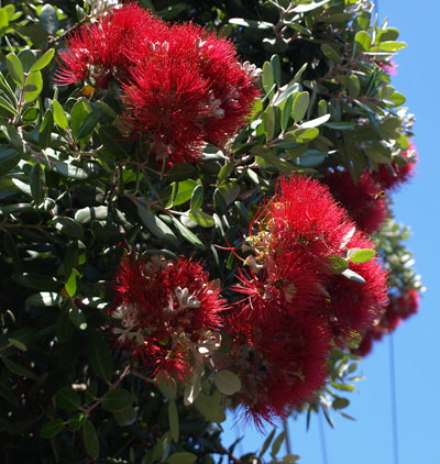 Close Up Of The Flowers Of The New Zealand Christmas Tree