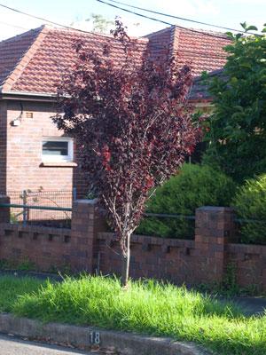Prunus Nigra Saving Our Trees Marrickville Municipality