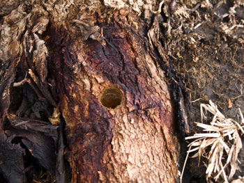 tree poisoning | SAVING OUR TREES - Marrickville municipality