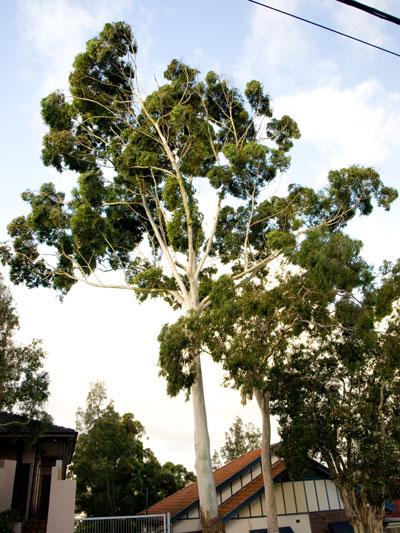 Sydney Blue Gum Saving Our Trees Marrickville Municipality
