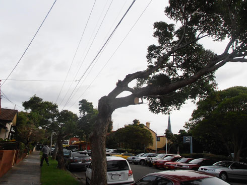 Despointes Street Marrickville were pruned recently & are a shadow of their former selves. Photo 2012