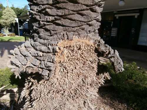 how to clean a queen palm tree trunk