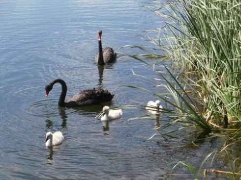 Here they with their parents in Sydney Park last October 2012.  The third cygnet in still in Sydney Park.