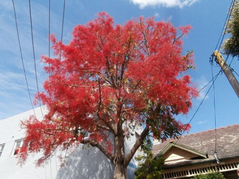 Illawarra Flame tree - just one of the free trees available.