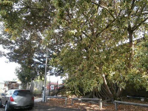 If I am correct, this is the Ficus benjamina is to be removed from Edgar Street.