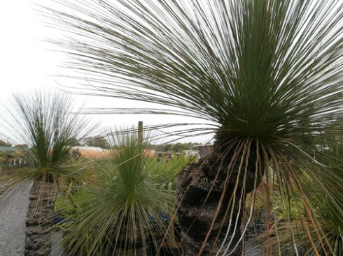 Gorgeous Grass trees