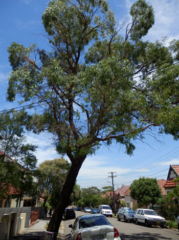 19 John Street:  The proposed loss of this tree was very distressing to my friend as it is the home of a Tawny Frogmouth.  The tree leans, though I doubt that would be a reason for removal in Sydney's North Shore suburbs.  It has some dieback & unfortunately, has caused damage to the footpath.