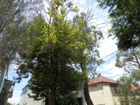 21 John Street:  A Maple & a Gum tree on on the removal list.  Both trees have major dieback.