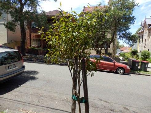 Third tree outside 46-48 John Street.
