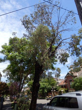 No 49 John Street - I could see why this tree is on the list.  It has dieback & leans.  My friends asked why could it not have the dieback pruned & see how it responds.