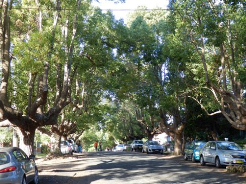 The very lovely David Street Marrickville has many fans within the community because of these trees.