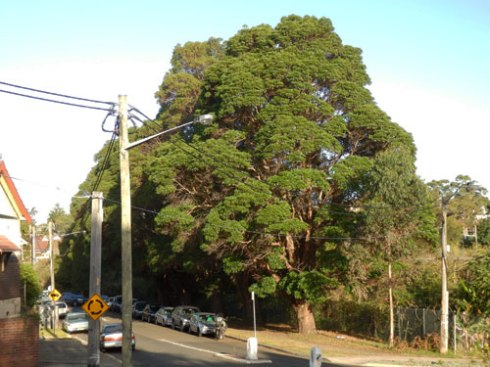 I think the Brush Box trees that line the railway line in Hercules Street Dulwich Hill have perfect canopies.