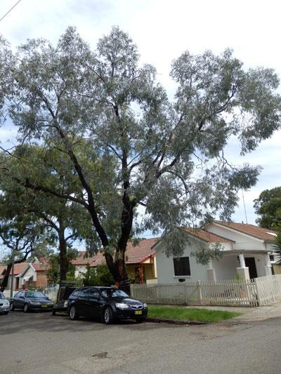 Eucalyptus sideroxylon outside 28 Browns Avenue Enmore.  It's a beautiful tree.