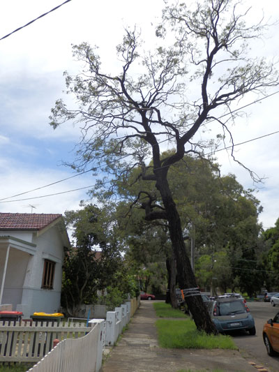Eucalyptus sideroxylon opposite 24 Browns Avenue Enmore.  This tree is included in Marrickville Council's audit list of street trees proposed for removal.