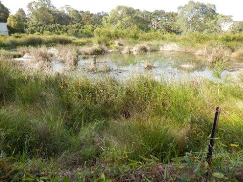 Showing one of the four ponds in the very beautiful Cup & Saucer Creek Wetland.  New reed nests have been built over the last month or so.