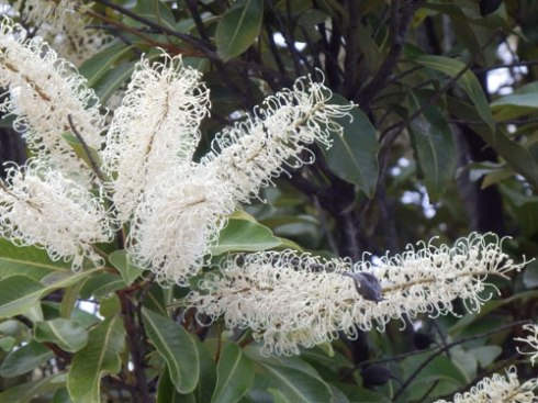 The flower of the Ivory Curl tree
