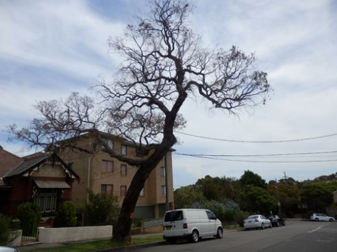 The dead tree in Keith Street Dulwich Hill