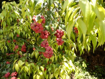 Lilly Pilly fruit was available in abundance
