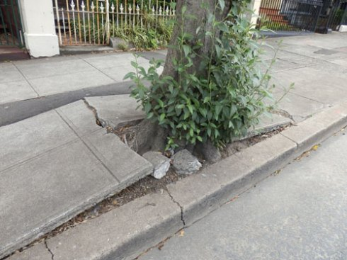 This street tree was living in the worst conditions.  Now it & others are free to grow & capture stormwater in new verge agrdens