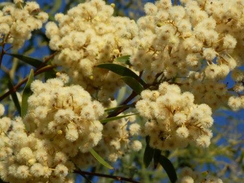 Wattle - flowering now.