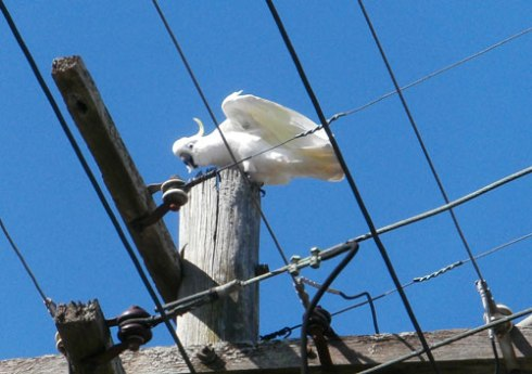 Cockatoo-photo-by-Saving-Our-Trees