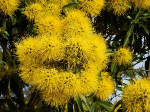 I discovered this gorgeous Golden penda - Xanthostemon chrysanthus -  growing in Hurlstone Park the other day.  I saw another growing as a street tree in Petersham as well.
