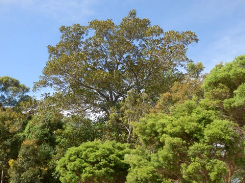 The wall of trees & the massive Fig tree that is the first thing you see from the car park