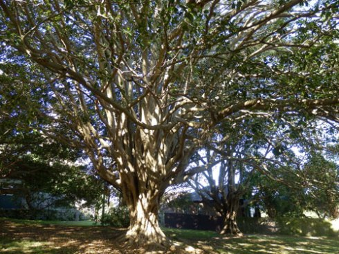 Stunning Fig tree below Richardsons Reserve Marrickville