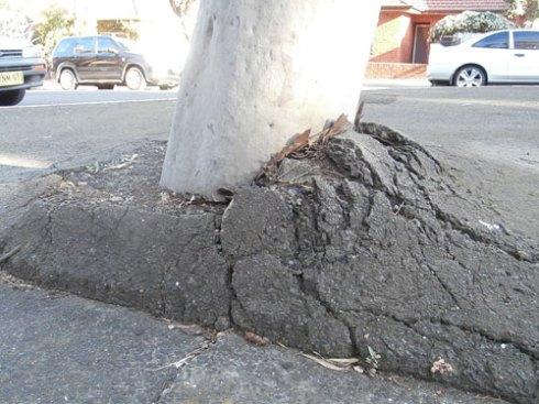 Gum tree in the traffic island on the corner of Arthur & Ann Street Marrickville
