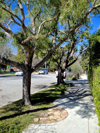 Wonderful & attractive footpath management for street tree roots in Santa Cruz, California.  Photo by Ed Glatfelter-Jones with many thanks ☺