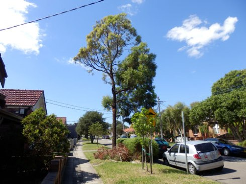 A Tallow Wood (Eucalyptus microcorys) outside number 37 Edwin Street Tempe to be removed.