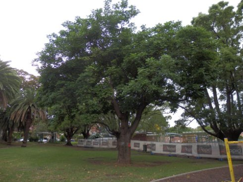 Coral tree to be removed in Petersham Park. It's quite a large tree & being broad-leafed, would provide a lot of shade.