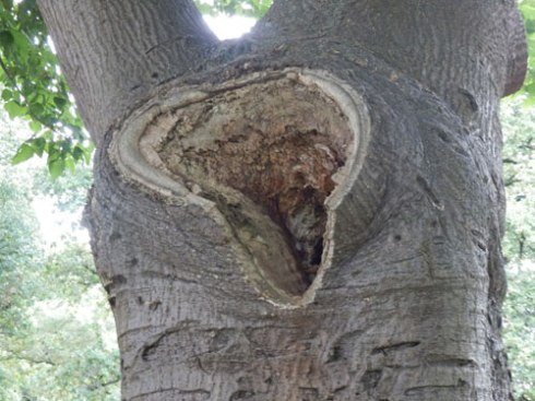 One of the areas of decay visible in this tree.