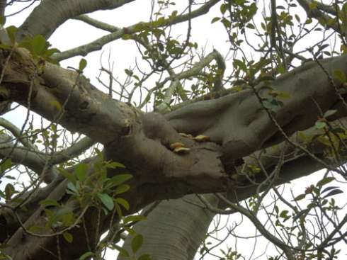 Fungus, plus visible rot & borer damage in this branch of the fig tree in Petersham Park.