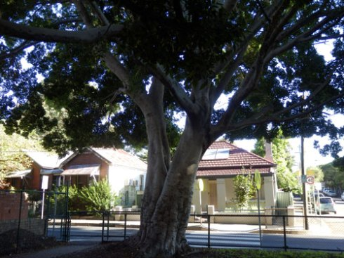 Just one of the beautiful Fig trees in Simson Park St Peters.