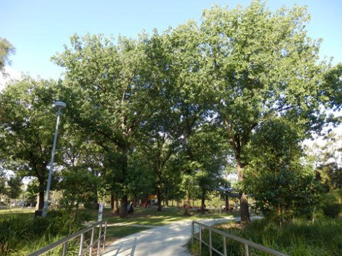 The Poplars at Steel Park provide wonderful dappled shade for people to play under and; of course, that lovely sound made by their leaves.