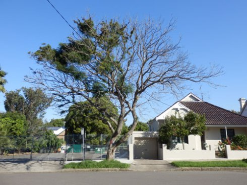 Jacaranda to be removed in McRae Street Petersham.