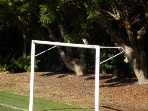 Just one of the Kookaburras that were hunting for food on the playing field.  One Kookaburra even went onto the field while a soccer game was happening.