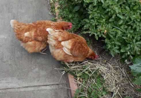Chickens are perfect for a permaculture garden.  These lovely hens provide eggs , eat scraps, clean up weeds, as well as keeping garden pests in control.  They also provide manure.