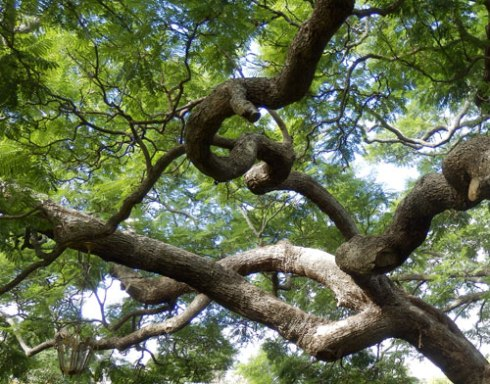 The tree has wonderful twisted branches adding another layer of interest.