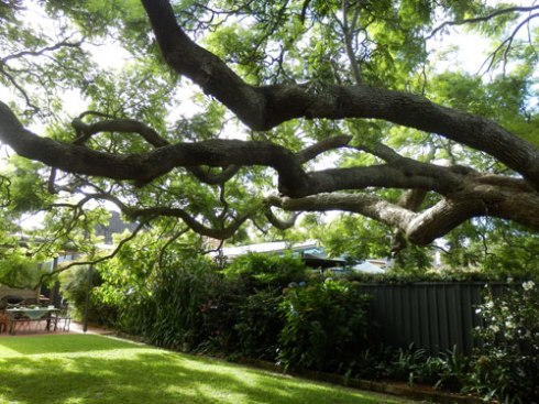 Wide spreading boughs reach towards the house.  It is a fabulous feeling to stand underneath this tree.