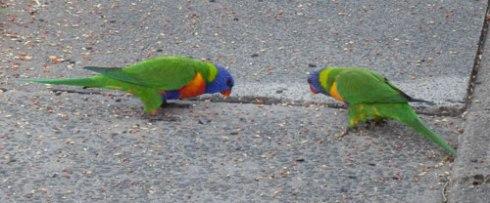 Lorikeets eating wild bird seed.