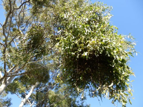 Mistletoe in a Marrickville Gum tree