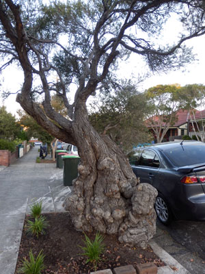 I think this tree is very special & am glad it was saved.  It will love its new living arrangements.