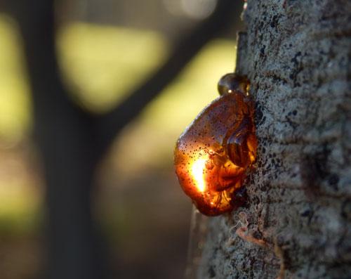 http://savingourtrees.files.wordpress.com/2013/05/tree-sap-1-photo-by-saving-our-trees.jpg