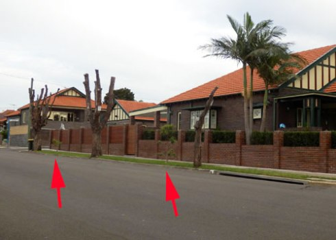 Four mature Brushbox trees & one mature Callistemon around the corner were poisoned in this section of Wonga Street. The arrows point to replacement trees.